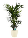 Kentia Palm_