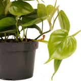 Philodendron Scandens 15cm