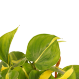 Philodendron Brazil_