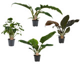 Box Philodendron mix_