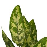 Aglaonema duo_