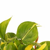 Philodendron duo_
