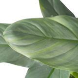 Philodendron Grey in Elho antraciet_
