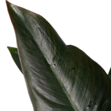 Philodendron New Red in Elho zwart_