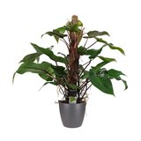 Philodendron red emerald met mosstok_