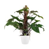 Philodendron_
