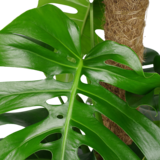 Monstera Pertusum_