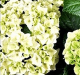 Hortensia Bol Wit in Bucket _