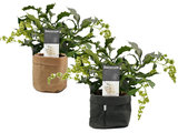 Clerodendrum prospero duo in Sizo bag mix_