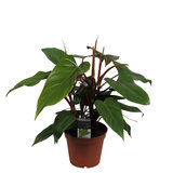 Philodendron red emerald_