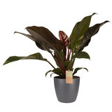 Philodendron in Elho antraciet_