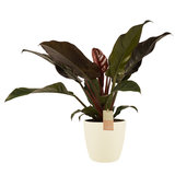 Philodendron in Elho crème_