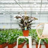 Philodendron Ruby_