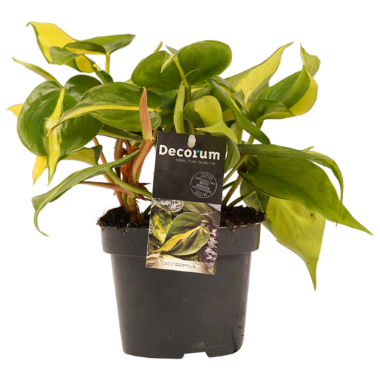 Philodendron Brazil - 15cm