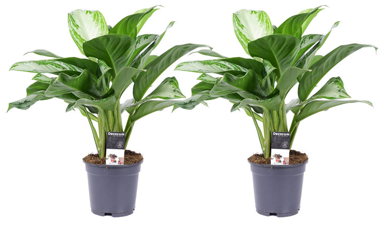 Duo Aglaonema Silver Bay - 50cm