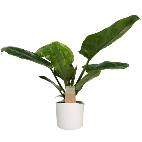 Philodendron Imperial Green - 45cm