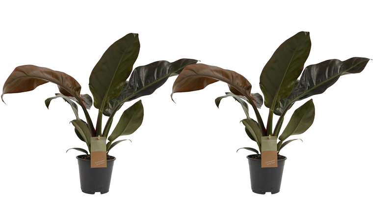 Duo Philodendron Imperial Red - 50cm