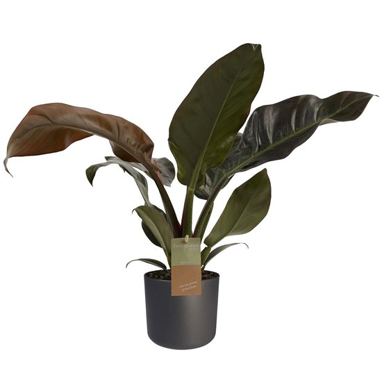 Philodendron Imperial Red - 50cm