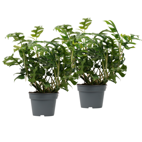 Box Philodendron Trophy - 45cm