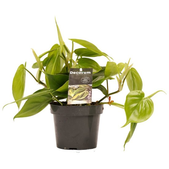 Philodendron Scandens - 15cm
