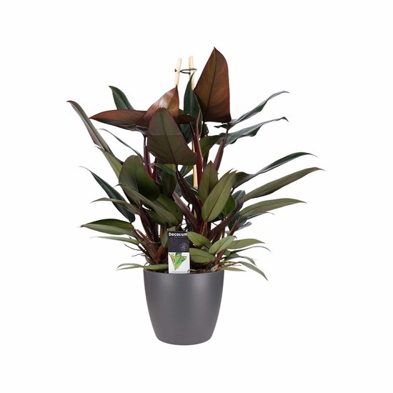 Philodendron New Red