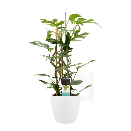Philodendron Minima in Elho wit