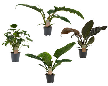 Box Philodendron mix