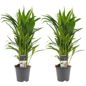 Dypsis lutescens duo