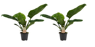 Duo Philodendron Imperial Green - 45cm