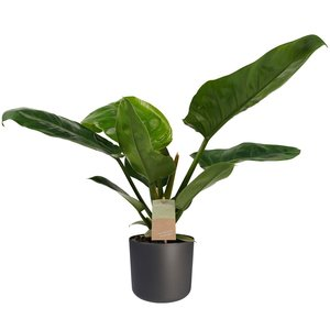 Philodendron in Elho antraciet