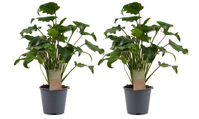 Philodendron duo