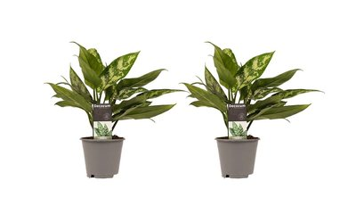 Aglaonema Maria duo