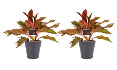 Aglaonema duo