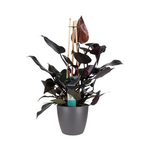 Philodendron Ruby in Elho antraciet