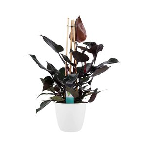 Philodendron Ruby in Elho wit