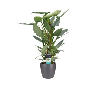 Philodendron Grey in Elho antraciet