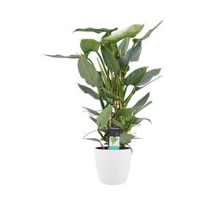 Philodendron Grey in Elho wit