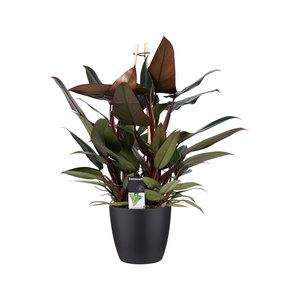 Philodendron New Red in Elho zwart
