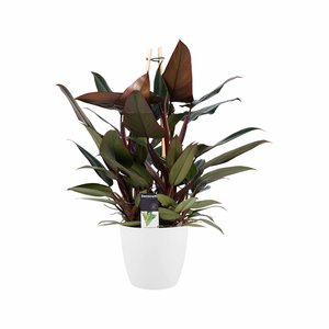 Philodendron New Red in Elho wit