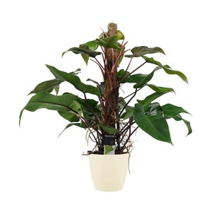 Philodendron red emerald met mosstok