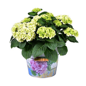 Hortensia Bol Wit in Bucket