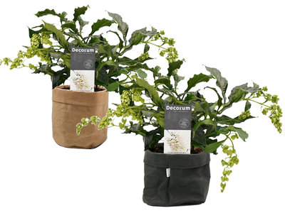 Clerodendrum prospero duo in Sizo bag mix