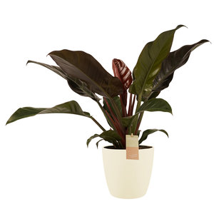 Philodendron in Elho crème