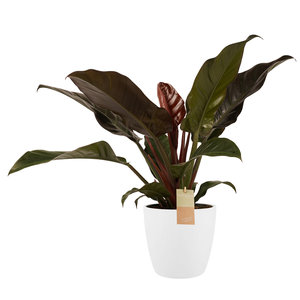 Philodendron in Elho wit