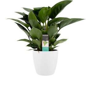 Philodendron Congo Apple in Elho wit