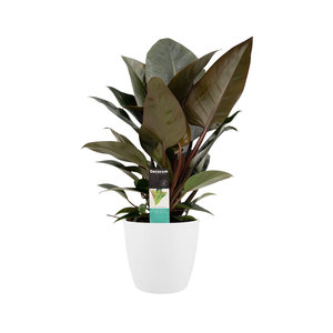 Philodendron Congo Rojo in Elho wit